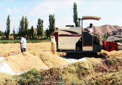 بیش از هفت هزار تن محصول برنج در شالیزارهای میانه برداشت شد
